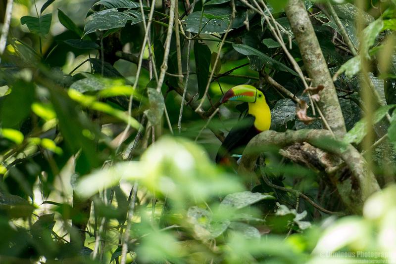 Keel-Billed Toucan Costa Rica