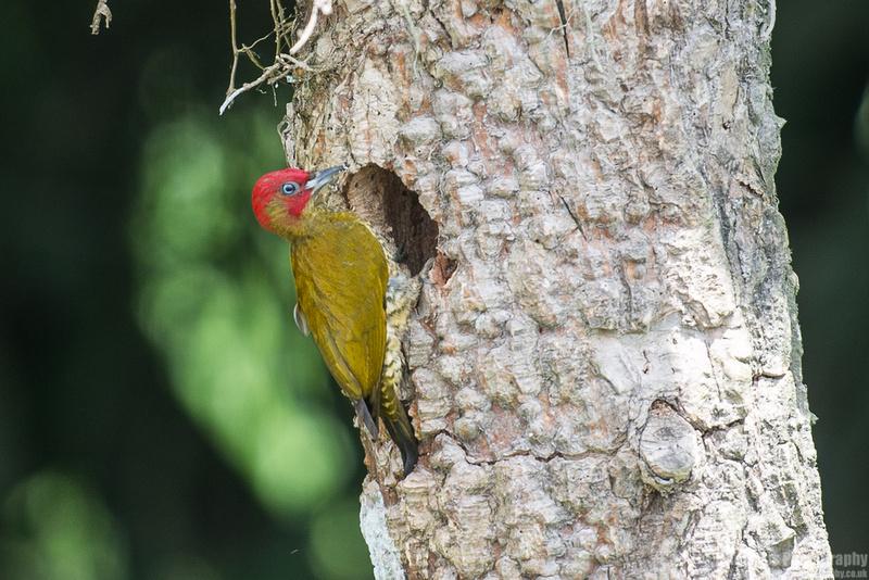 Rufous-winged Woodpecker Costa Rica