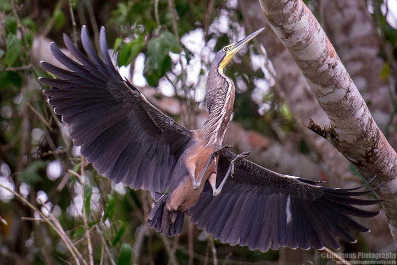 Tiger Heron Costa Rica