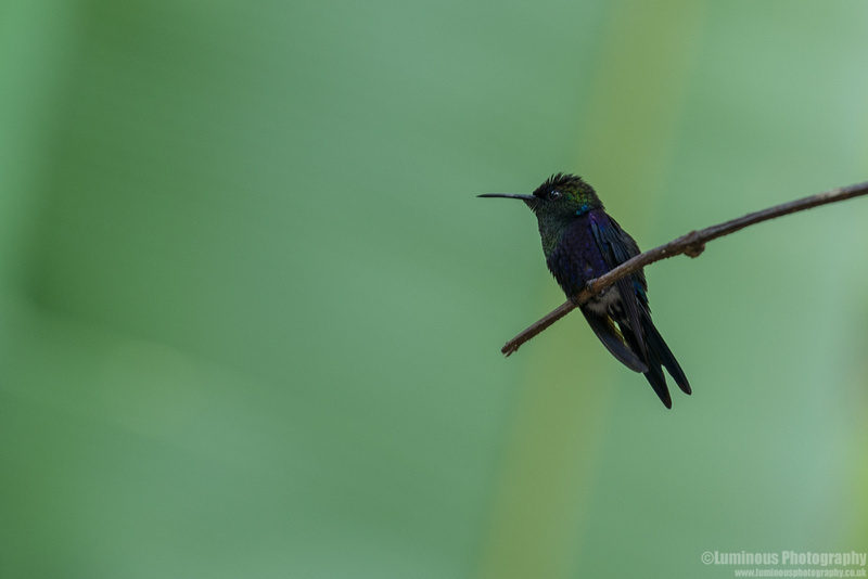 Green Crowned Brilliant Hummingbird Costa Rica