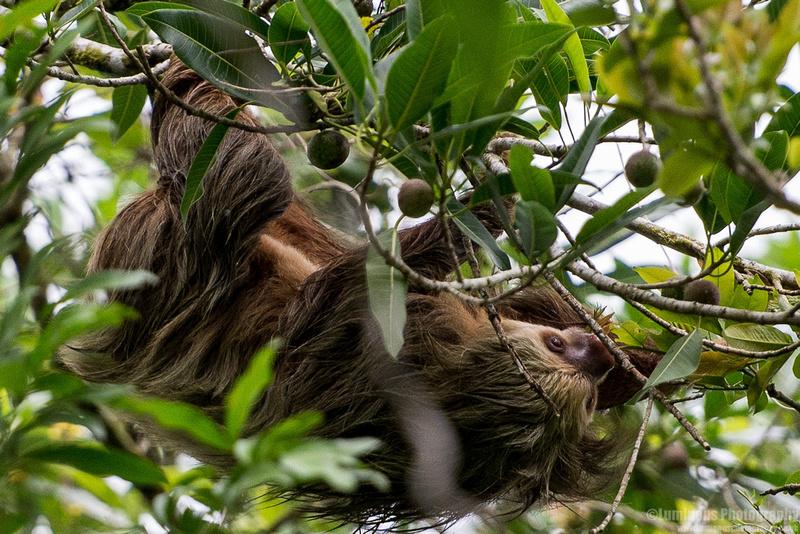 Sloths of Costa Rica