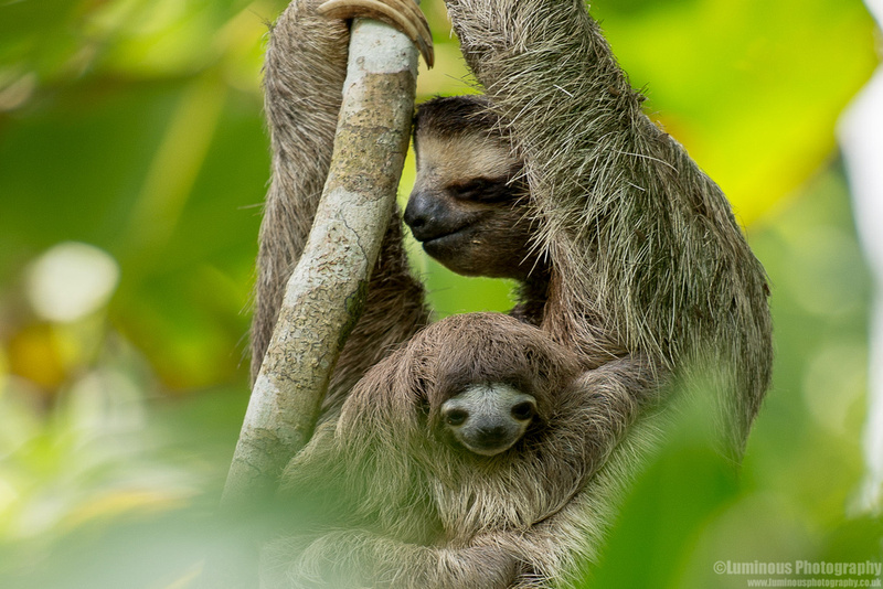 Mother and Baby Sloths of Costa Rica